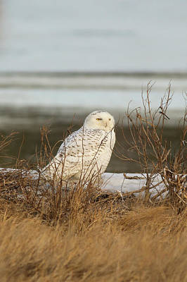 Photograph - Snowy Owl On Cape Cod by Allan Morrison