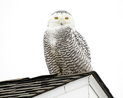 Photograph - Snowy Owl On Providence Rooftop by Peter Green