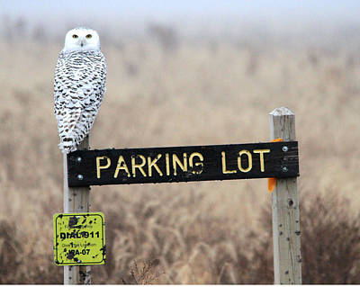 Photograph - Snowy Owl On Sign by Jim Phares