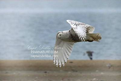 Photograph - Snowy Owl On The Beach 2 by Captain Debbie Ritter