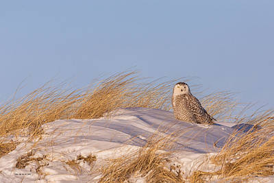 Photograph - Snowy Owl On The Dunes by Dale J Martin