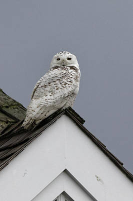 Photograph - Snowy Owl On The Roof by Steve Gravano