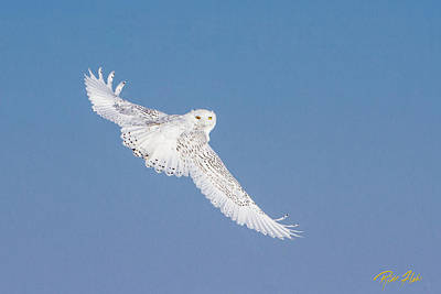 Photograph - Snowy Owl Over The Shoulder by Rikk Flohr