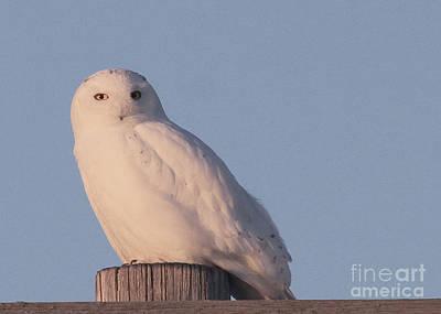 Photograph - Snowy Owl by Paula Guttilla