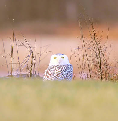 Photograph - Snowy Owl Portrait by Dan Sproul