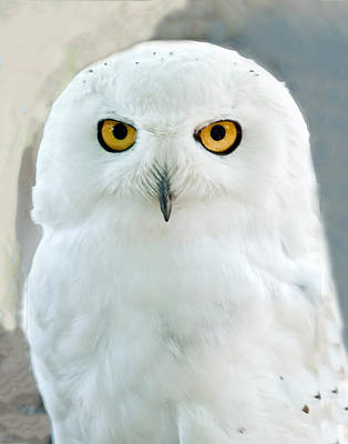 Photograph - Snowy Owl Portrait by William Bitman
