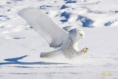 Art Print featuring the photograph Snowy Owl Pouncing by Rikk Flohr