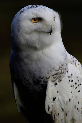 Photograph - Snowy Owl Profile by Steve McKinzie