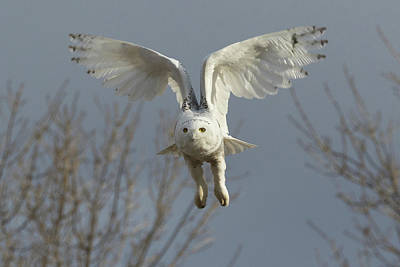 Photograph - Snowy Owl Raises Its Wings For Flight by Tony Hake