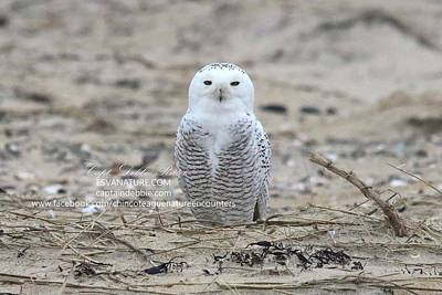 Photograph - Snowy Owl Resting On Beach by Captain Debbie Ritter