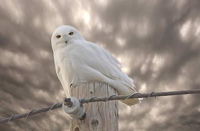 Fluffy Digital Art - Snowy Owl Saskatchewan Canada by Mark Duffy