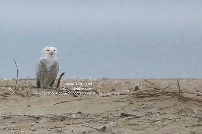 Photograph - Snowy Owl Scouting Beach by Captain Debbie Ritter