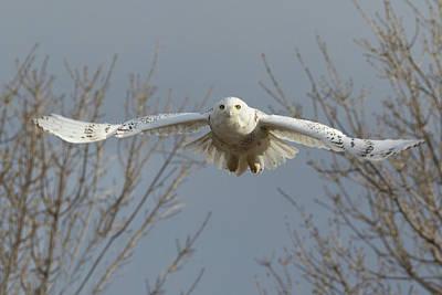 Mountain Landscape - Snowy Owl Spreads Its Wings by Tony Hake
