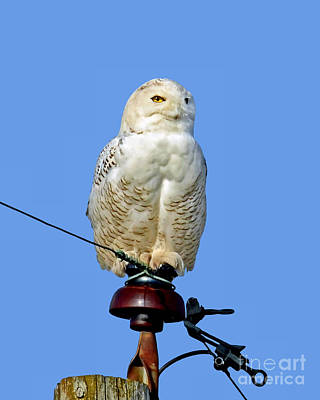 Photograph - Snowy Owl by Sue Stefanowicz
