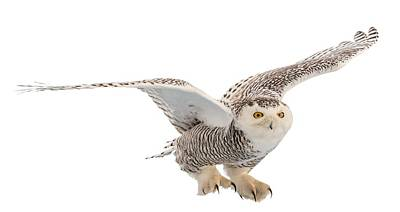 Snowy Owls Wall Art - Photograph - Snowy Owl T-shirt Mug Graphic by Everet Regal