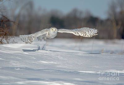 Photograph - Snowy Owl Take Off by Cheryl Baxter