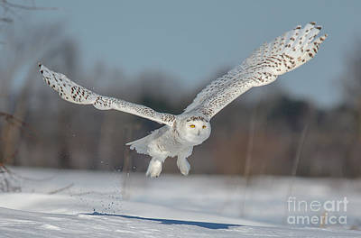 Photograph - Snowy Owl Taking Off by Cheryl Baxter