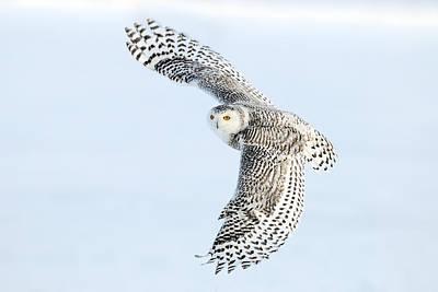 Snowy Owls Wall Art - Photograph - Snowy Owl Topside by Scott  Linstead