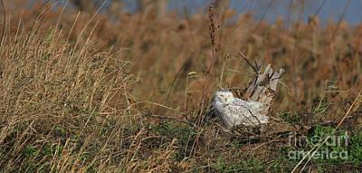 Photograph - Snowy Owl Visitation by Debbie Parker