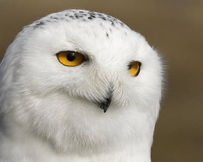 Photograph - Snowy Owl by Wes and Dotty Weber