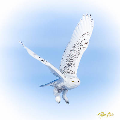 Photograph - Snowy Owls On White by Rikk Flohr