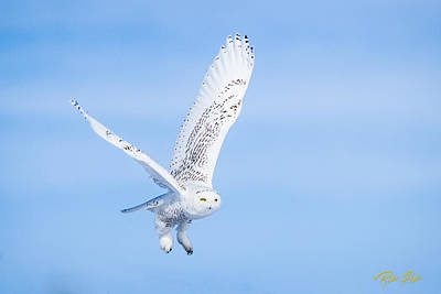 Photograph - Snowy Owls Soaring by Rikk Flohr