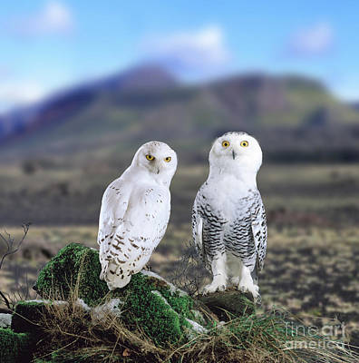 Photograph - Snowy Owls by Warren Photographic
