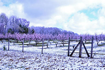 Photograph - Snowy Peach Orchard by Lydia Holly