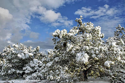Photograph - Snowy Pine Boughs by Leda Robertson