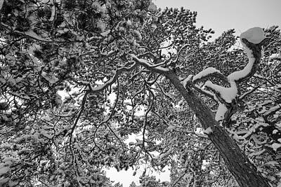 Photograph - Snowy Pine Branches - Monochrome by Ulrich Kunst And Bettina Scheidulin