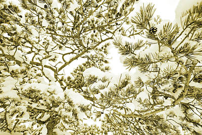 Photograph - Snowy Pine Branches - Sepia by Ulrich Kunst And Bettina Scheidulin