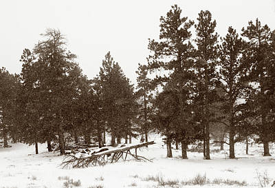 Photograph - Snowy Pines by Marilyn Hunt