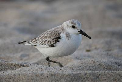 Photograph - Snowy Plover by Christy Pooschke