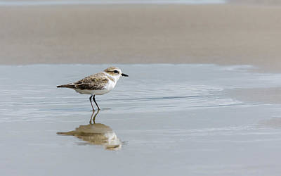 Photograph - Snowy Plover Reflecting by Debra Martz