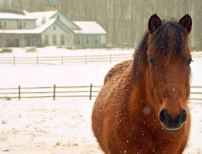 Photograph - Snowy Pony Color  by Marysue Ryan
