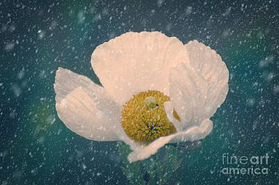 Photograph - Snowy Poppy by Jim And Emily Bush