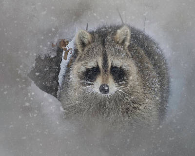 Photograph - Snowy Raccoon by Teresa Wilson