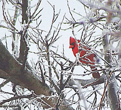 Digital Art - Snowy Red Bird A Cardinal In Winter by Shelli Fitzpatrick
