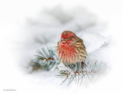 Photograph - Snowy Red Finch by LeeAnn McLaneGoetz McLaneGoetzStudioLLCcom