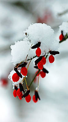 Photograph - Snowy Red Fruit by Debbie Oppermann