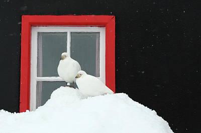 Photograph - Snowy Sheathbills At Port Lockroy by Bruce J Robinson