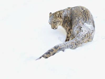 Photograph - Snowy Snow Leopard by Steve McKinzie