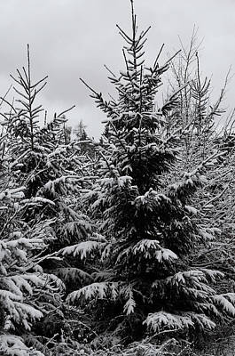 Photograph - Snowy Spruce Trees by Jenny Rainbow