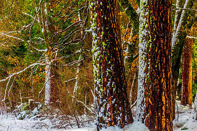 Bare Trees Photograph - Snowy Trees by Garry Gay