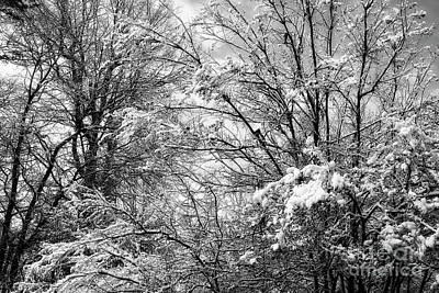 Photograph - Snowy Trees In Black And White by Jill Lang