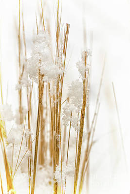 Photograph - Snowy Weed - Vertical by Delphimages Photo Creations