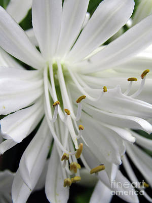 Photograph - Snowy White Beauty. 6 by Kim Tran