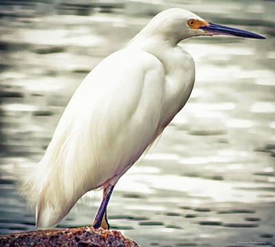 Photograph - Snowy White Egret by Debra Forand