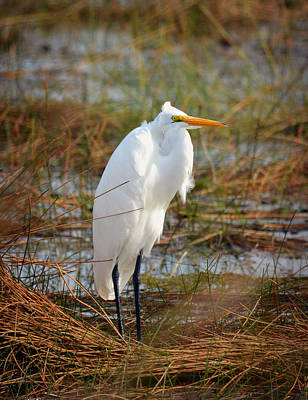 Photograph - Great White Egret In Grassy Marshes by Carla Parris