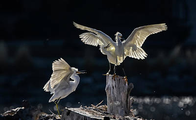 Photograph - Snowy White Egrets 1 by Rick Mosher